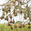 Weaver birds and their nests