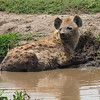 Hyena cooling off in a mud hole