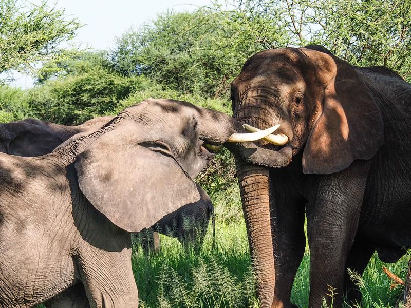 Younger elephant greeting an elder