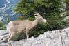 Mountain Goat on Sulfur Mtn