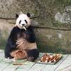 Panda - Chunquing Zoo