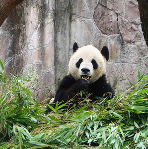 Chungquing Pandas