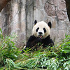 Panda - Chungquing Zoo