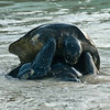 Green sea turtles - Turtle Love
