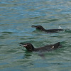 Galapagos Penguins swimming around our Zodiac