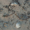 Turtle egg remnants