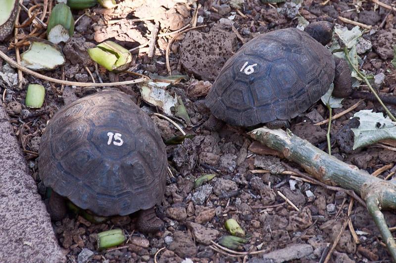 Recently hatched land tortoises