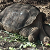 Lonesome George 100 + years old. The last of his species