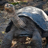 The famous giant land tortoises of the Galapagos