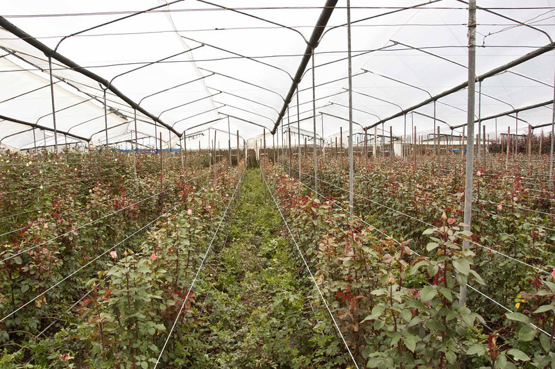 A view of one of the many greenhouses where the roses are grown.