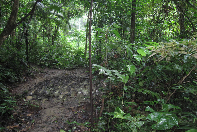 The very muddy trail through the rainforest.