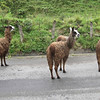 Llamas on the road.