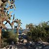 Opuntia cactus trees on Sante Fe Island
