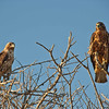 Hawks looking for their next meal.
