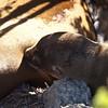 Sea lion pup nursing