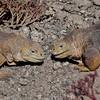 Two male iguanas contesting territory