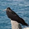 Frigate bird at rest