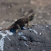 Femaie lava lizard