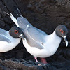 Swallow tail gulls