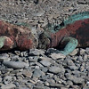 Male marine iguanas fighting over territory
