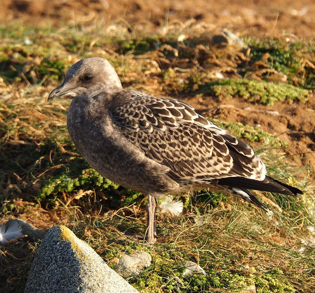 Skua bird
