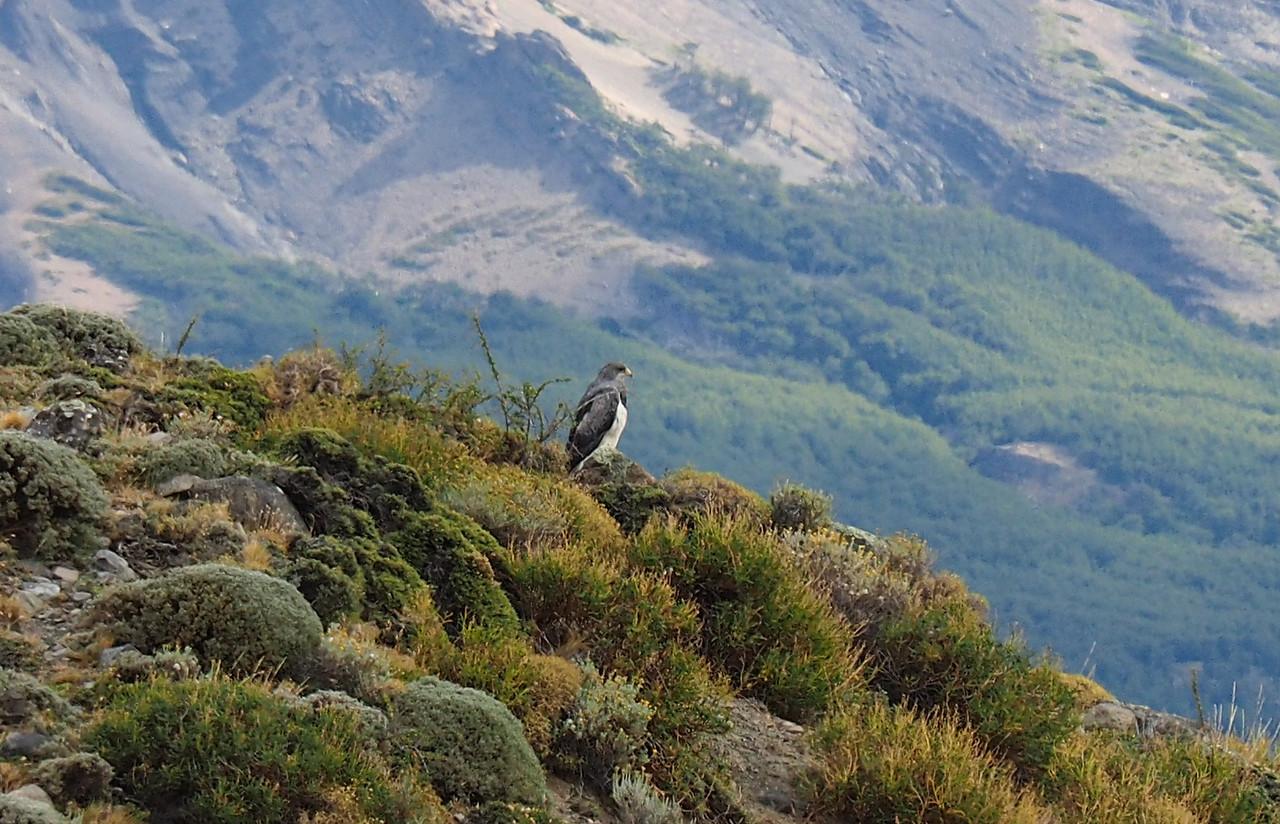 Chilean Blue Eagle, Torres del Paine NP