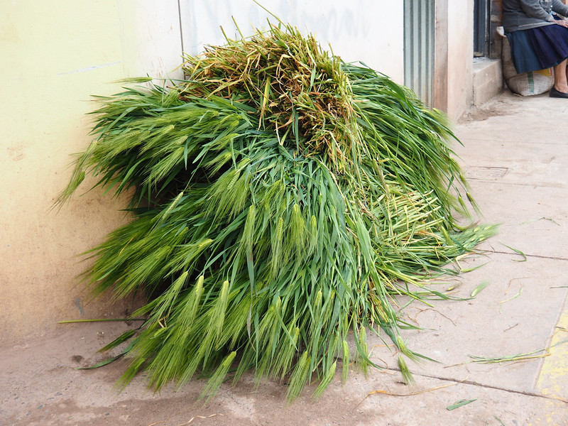 Barley and Grass Feed for Cuy