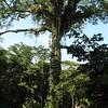 Giant Ceiba Tree
