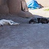 Let sleeping dogs lie, Taos Pueblo