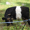 A white cow with black strips or black cow with a white strip. Either way, kind of strange