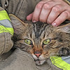 Maine Coon Cat rescued from inside a burning house in Malone, Texas. April, 2018