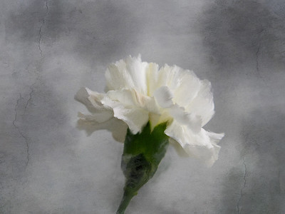 Carnation44 0 5 min