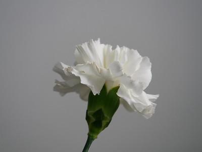 Carnation44 0