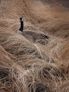 Denver goose Poser