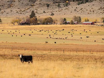 cow P1051187