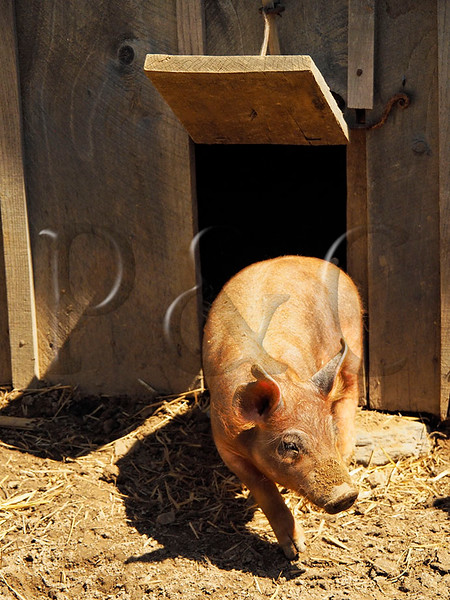 TN DOVER LAND BETWEEN THE LAKES NRA HOMEPLACE SINGLE PEN HOUSE PIG PEN APRAF_4150390MMW
