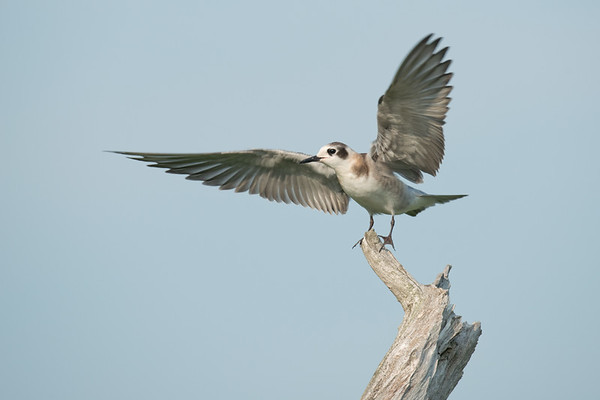 Black Tern fledgling flaps wings from driftwood roost • Lakeview WMA, NY • 2014