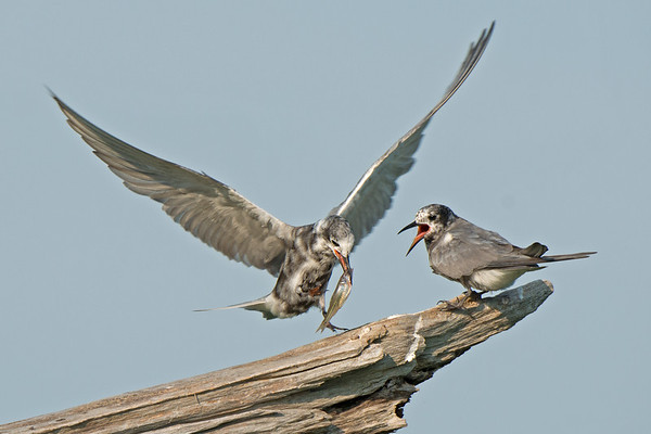 Black Tern arrives at roosting area with fish as another squawks • Lakeview WMA, NY • 2014