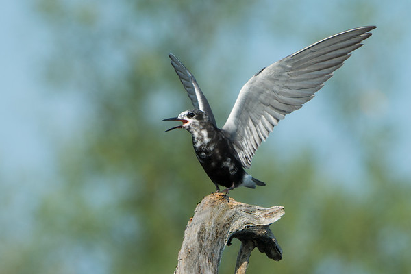 Black Tern lifts wings and calls from roost • Lakeview WMA, NY • 2014