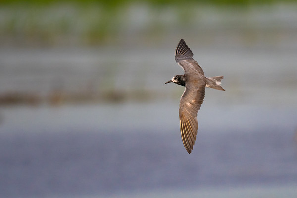 Black Tern with wings spread flying through marsh, top view • Montezuma NWR, NY • 2016