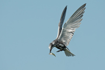 Black Tern hovers with fish and raised wings • Lakeview WMA, NY • 2014