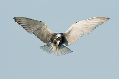 Black Tern flies towards camera with fish • Lakeview WMA, NY • 2014