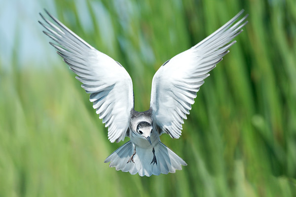 Black Tern flying head-on in marsh • Lakeview WMA, NY • 2014