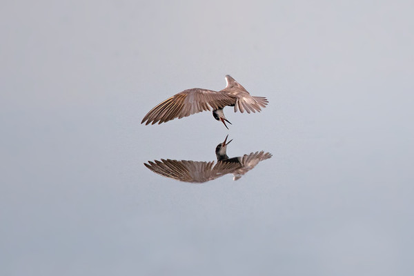 Black Tern dives for dinner with reflection • Montezuma NWR, NY • 2016