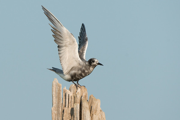 Black Tern on driftwood roost stetches wings • Lakeview WMA, NY • 2014