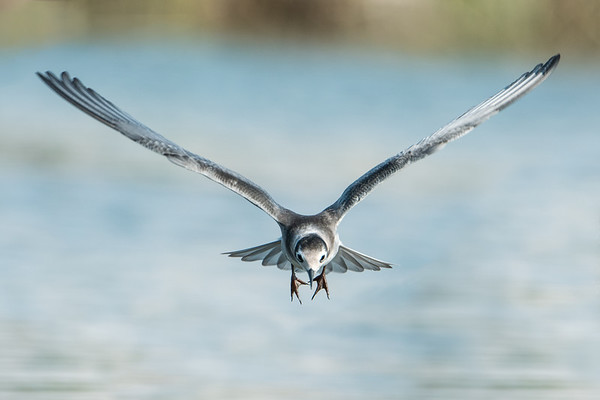 Black Tern flies toward camera • Lakeview WMA, NY • 2014