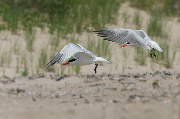 Pair of Caspian Terns take flight by sand dunes • Lakeview WMA at Lake Ontario, NY, USA • 2015