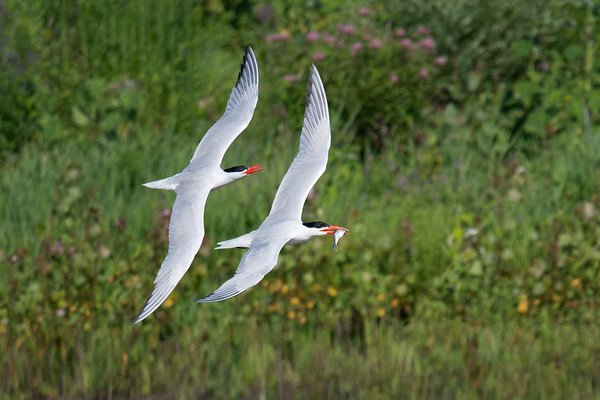Pair of Caspian Terns fly past greenery, one with fish • Montezuma NWR, NY • 2017
