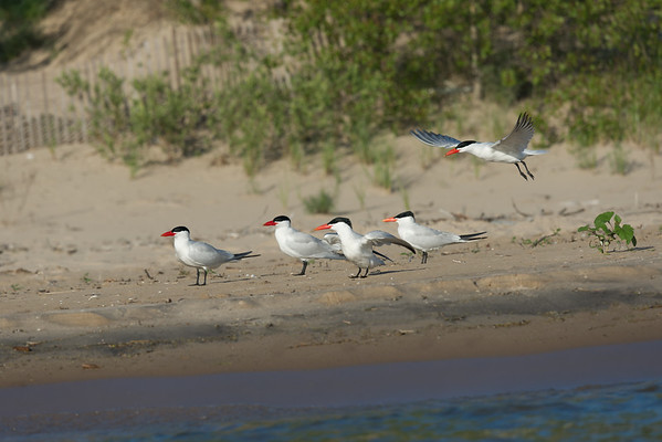 Caspian Terns lined up along shore while one takes flight • Lakeview WMA, Lake Ontario, NY • 2015