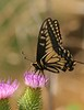 Swallowtail0141 copy